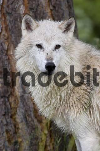 portrait of white wolf