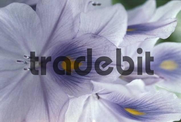 Water hyacinth Eichhornia crassipes