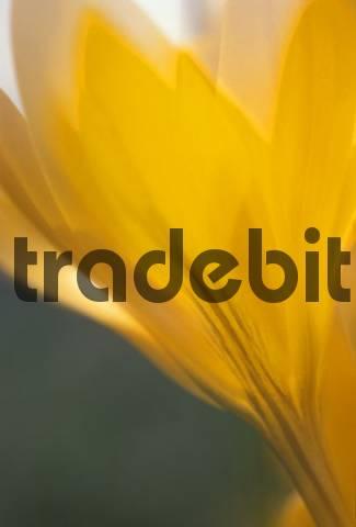 Crocus flavus