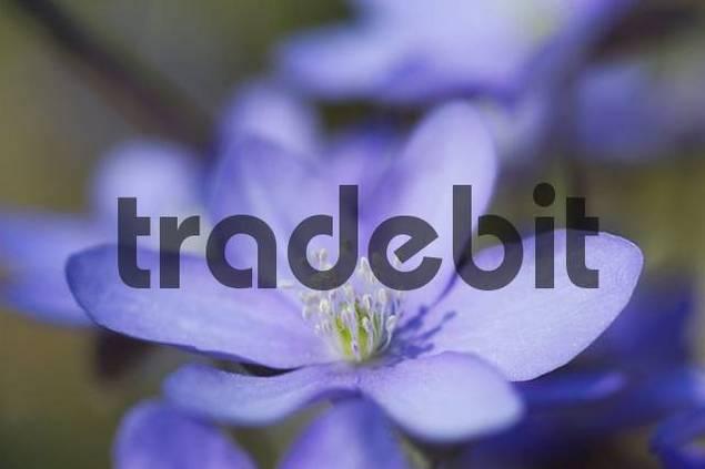 liverleaf liverwort Hepatica nobilis