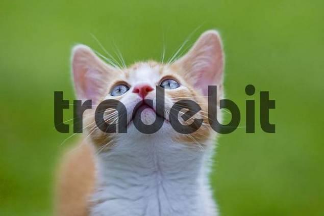 European shorthair cat in a meadow