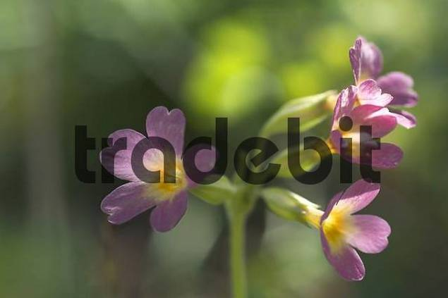 Primula Elatior cowslip