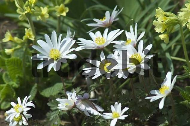 spring anemone blanda anemone bloom download nature. Black Bedroom Furniture Sets. Home Design Ideas