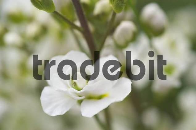 babys breath Gypsophila paniculata