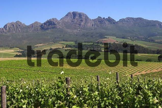 Vine in front of South-African mountains near Stellenbosch.