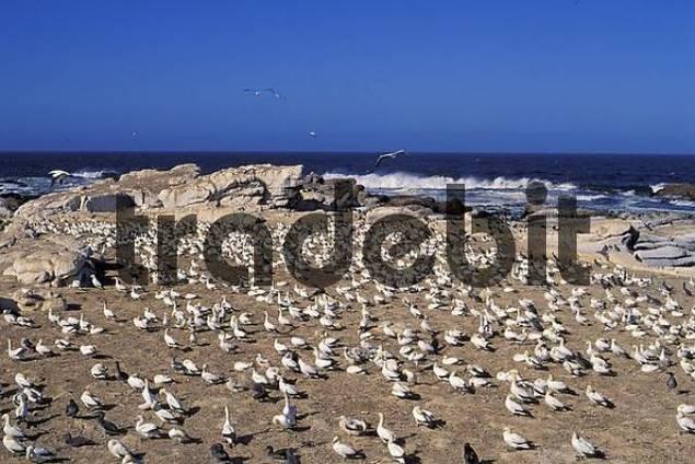 Cape gannets gannet Lambert Lamberts Bay South Africa Morus Capensis