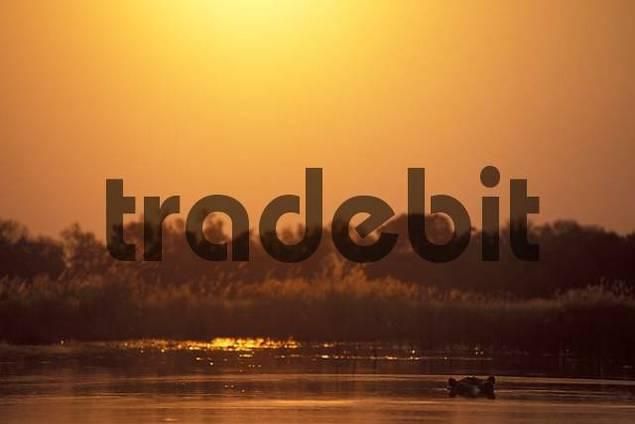 Hippos Hippopotamusses in river Botswana
