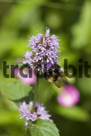 Water Mint Mentha aquatica and hoverfly Germany