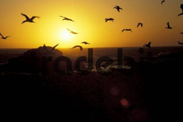 Cape gannets gannet at sunset Lamberts Bay South Africa Morus Capensis