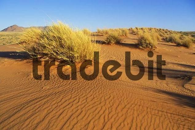 Dunes with gras in Kalahari Desert South Africa