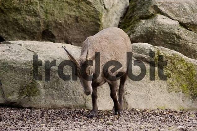 Ibex capra ibex