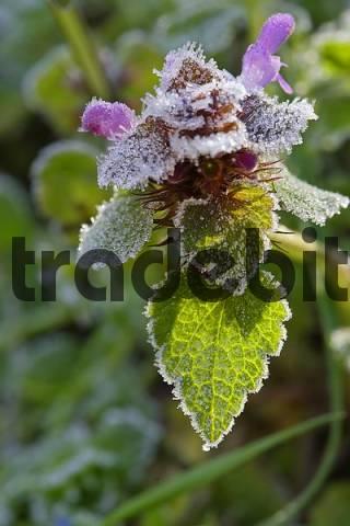 deadnettle Lamium purpureum with frost Lower Austria Austria