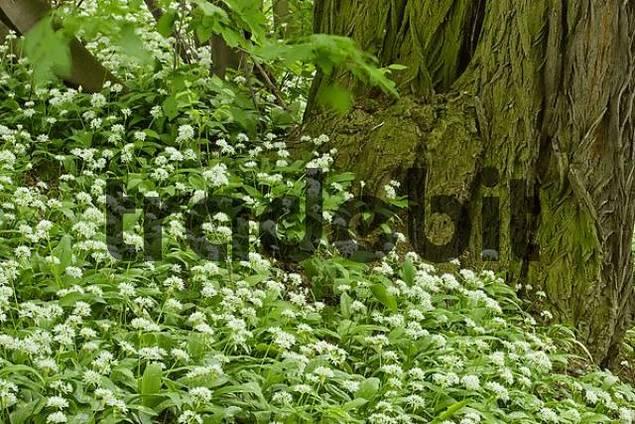 wood with flowers of leek near Leobersdorf Lower Austria Austria