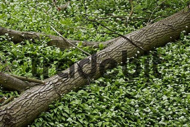 wood with flowers of leek near Leobersdorf Lower Austria Austria