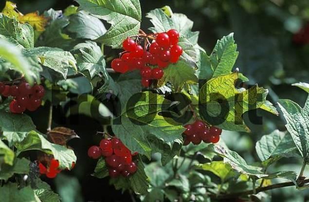 European cranberrybush Viburnum opulus seed head Germany