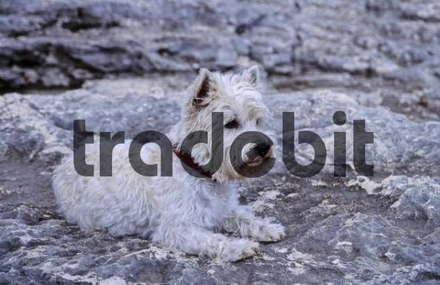 West Highland White Terrier lying on a rock
