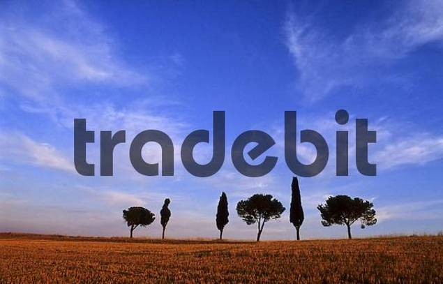 Solitary group of trees at a harvested grain field near Montalcino Tuscany Italy