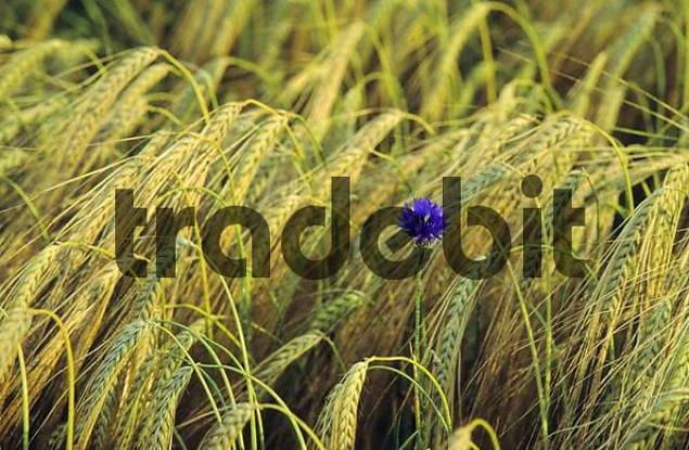 Single cornflower in a grain field centauera cyanus