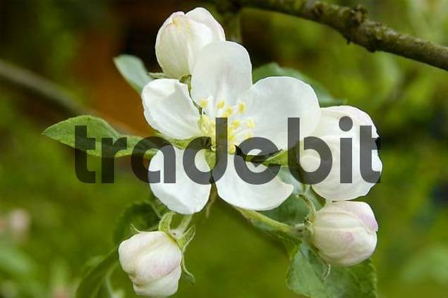 Blooming apple tree Germany