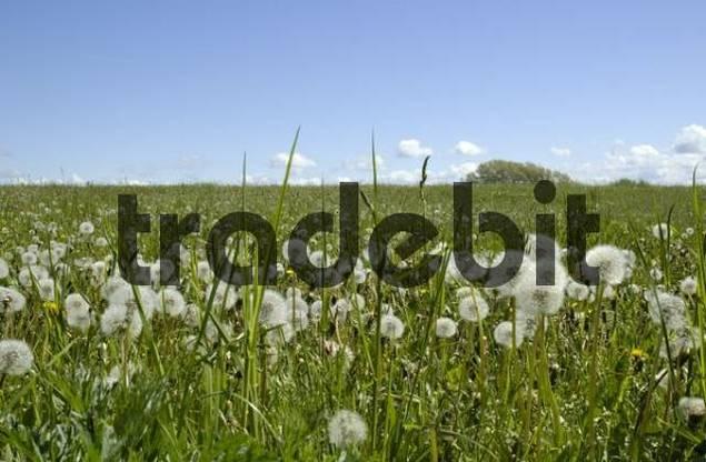 Green meadow with dandelions Taraxacum officinale at Saaler Bodden near Ahrenshoop Germany
