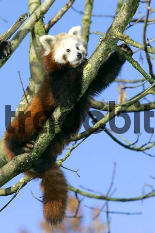 Munich, GER, 28. Oct. 2005 - Red Panda lat. Ailurus fulgens, picture was taken in zoo Hellabrunn in Munich.