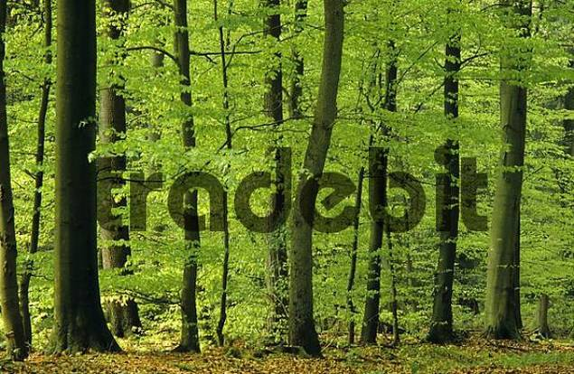 Beech wood in spring in Northern Germany