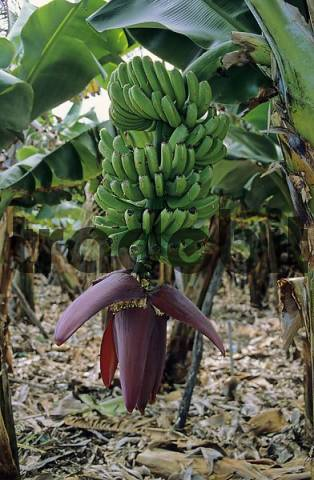 Banana plant with flower at La Palma, Canary Islands, Spain