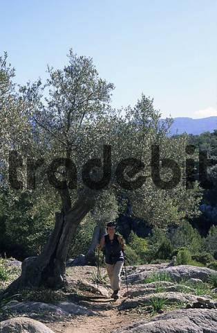 Mallorca Serra de Tramuntana olive tree - hiking