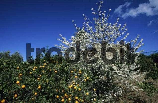 Mallorca Serra de Tramuntana Dei cherry tree and orange tree