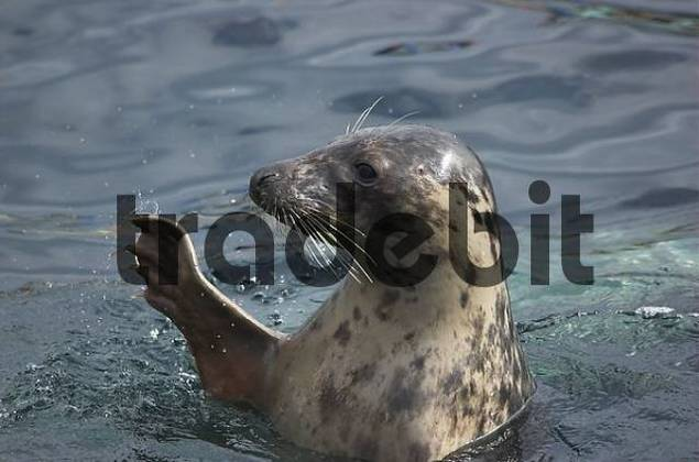 Common seal looking from the water and waving a flapper
