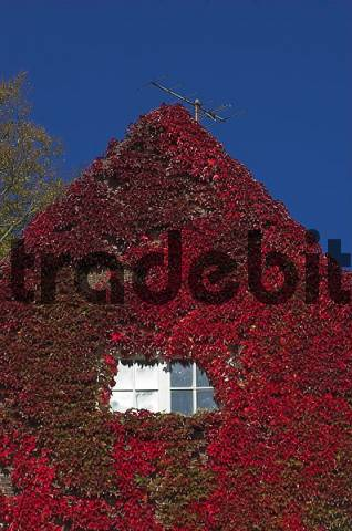 Front of a house covered with autumn coloured vine leaves, Germany