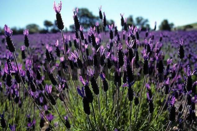 French Lavender Lavendula stoechas Extremadura Spain
