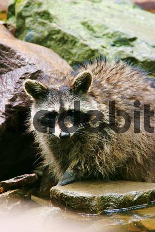 Racoon Procyon lotor is lokking curious