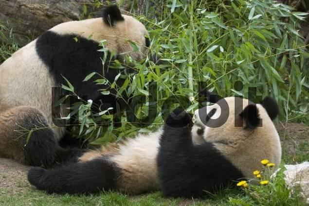 Giant Panda bear Ailuropoda melanoleuca eating bamboo in the zoo Schönbrunn Vienna Austria