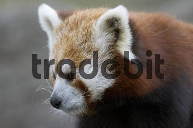 Red Panda Ailurus fulgens zoo Schönbrunn Vienna Austria