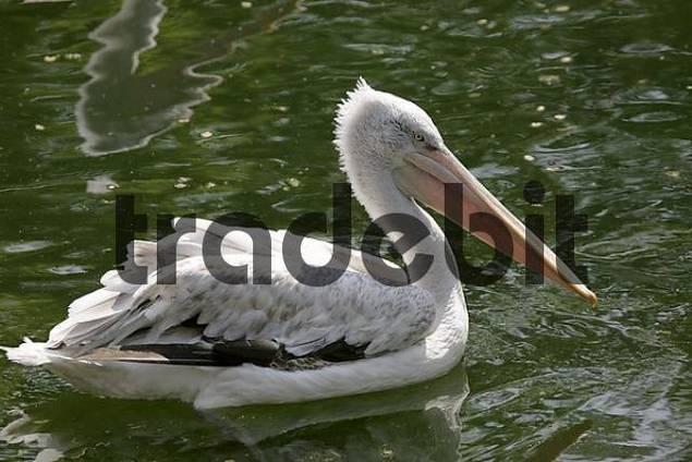 Dalmatian pelican Krauskopfpelikan pelicanus crispus zoo Herberstein Styria Austria
