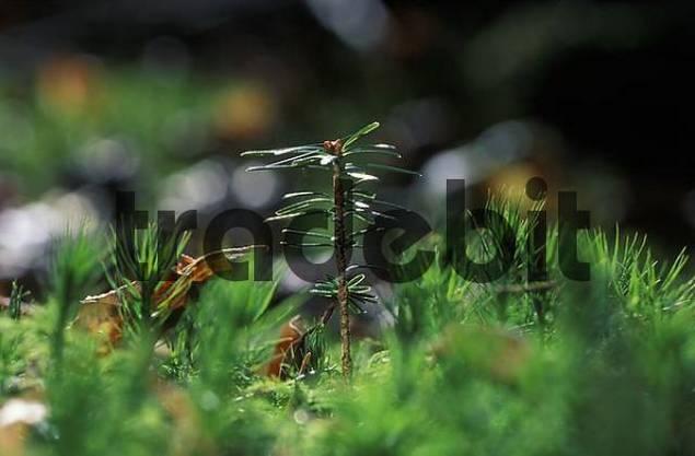 seedling of Silver Fir Abies alba Germany