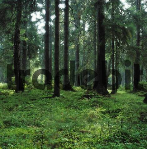 spruce forest Germany