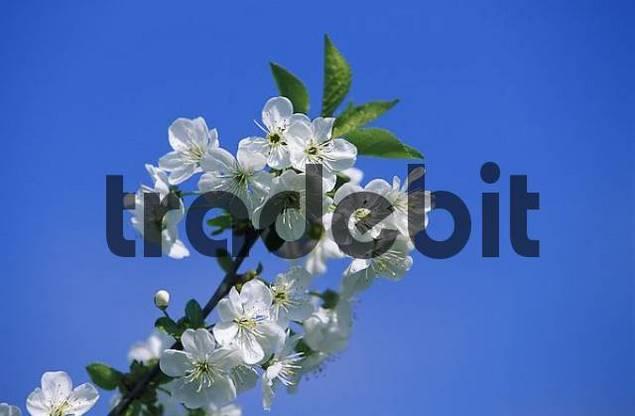 cherry blossom Prunus avium Germany
