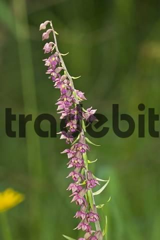 Broad Leaved Helleborine - Epipactis helleborine - Germany