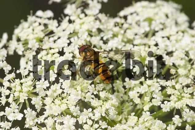 hoverfly Epistrophe balteata on flower of Wild carrot - Daucus carota - Germany