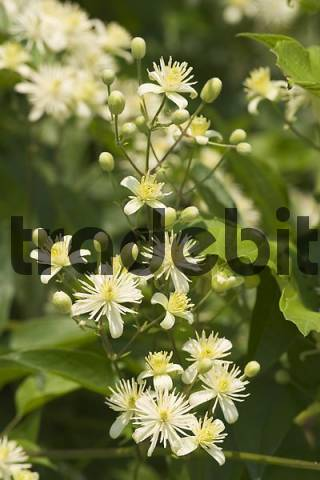 Old Mans Beard - evergreen clematis - Clematis vitalba - Germany