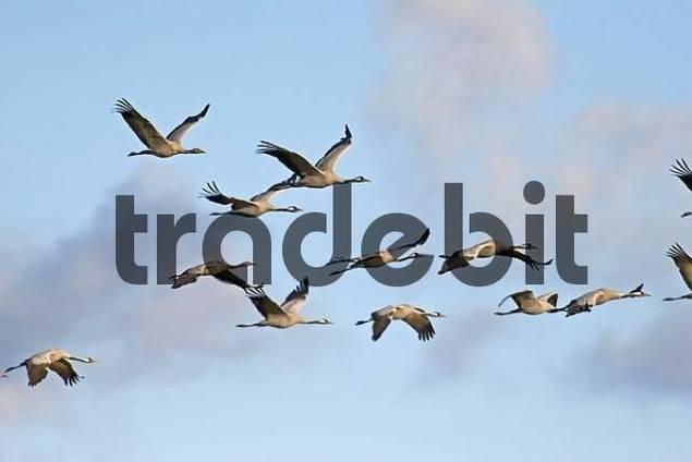 troop of cranes in flight