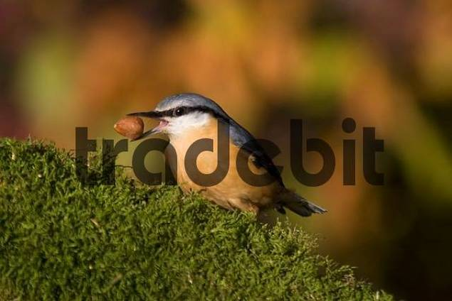 nuthatch with nut on moss radix