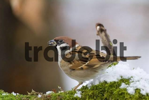 tree sparrow on a green radix