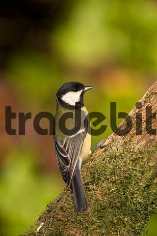 great tit on a perch with moss