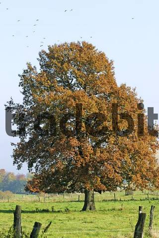 Autumnale colored beech tree on a meadow in the Westerwald, Hessen, Germany