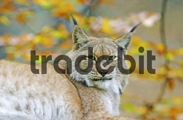 Lynx Lynx lynx is lieing lazy on the ground, enjoying the autum sun, captive