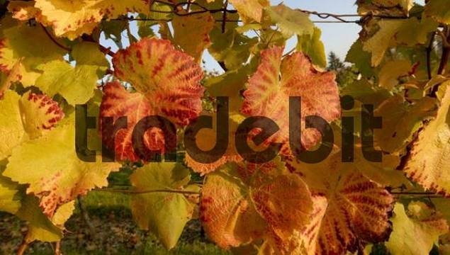 vine leaves in the evening light - Germany, Europe.
