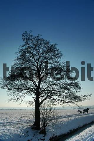 winter scenery with tree and sleigh, Upper Bavaria ...